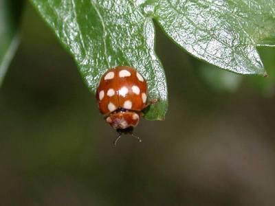Calvia quatuordecimguttata [Famille : Coccinellidae]