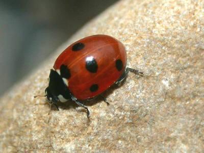 Coccinella septempunctata [Famille : Coccinellidae]