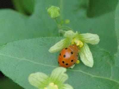 Henosepilachna argus [Famille : Coccinellidae]