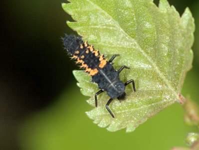 Harmonia axyridis [Famille : Coccinellidae]