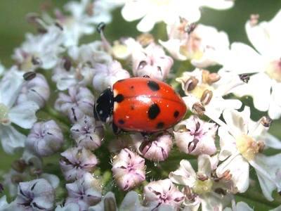 Hippodamia variegata [Famille : Coccinellidae]