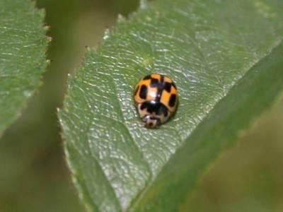 Propylea quatuordecimpunctata [Famille : Coccinellidae]
