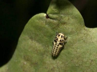Psyllobora 22-punctata [Famille : Coccinellidae]