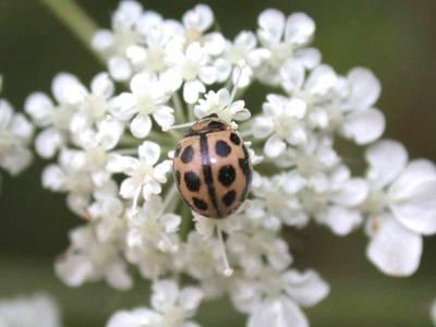 Tytthaspis sedecimpunctata [Famille : Coccinellidae]