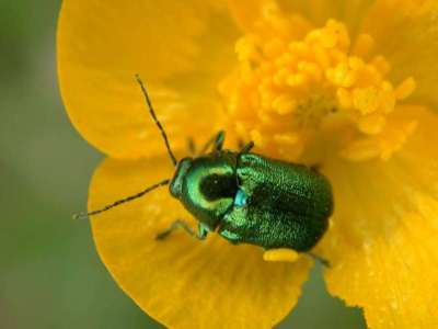 Cryptocephalus species [Famille : Chrysomelidae]