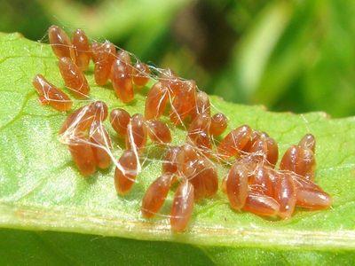 Chrysomela populi = Melasoma populi [Famille : Chrysomelidae]