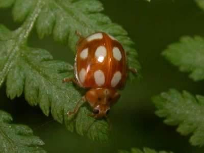 Calvia decemguttata [Famille : Coccinellidae]