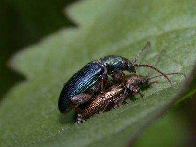 Plateumaris consimilis [Famille : Chrysomelidae]