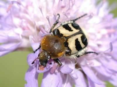 Trichius fasciatus [Famille : Scarabaeidae]