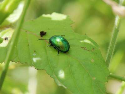 Chrysolina herbacea [Famille : Chrysomelidae]