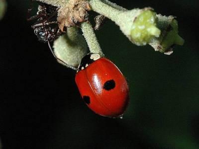Adalia bipunctata [Famille : Coccinellidae]