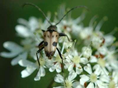 Pachytodes cerambyciformis [Famille : Cerambycidae]