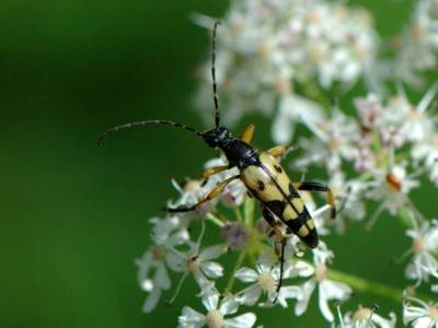 Rutpela maculata [Famille : Cerambycidae]