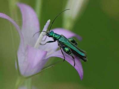Oedemera nobilis [Famille : Oedemeridae]