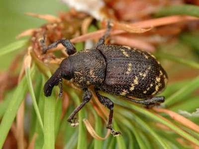 Hylobius abietis [Famille : Curculionidae]