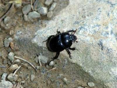 Geotrupes stercorarius [Famille : Scarabaeidae]