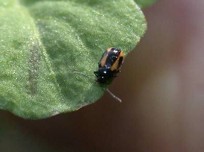 Phyllotreta species [Famille : Chrysomelidae]