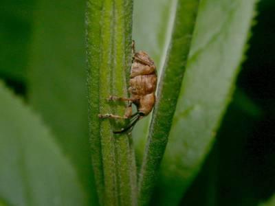 Curculio venosus [Famille : Curculionidae]