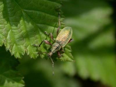 Phyllobius pomaceus [Famille : Curculionidae]
