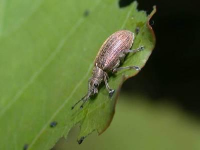 Phyllobius pyri [Famille : Curculionidae]