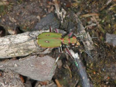 Cicindela campestris [Famille : Cicindelidae]