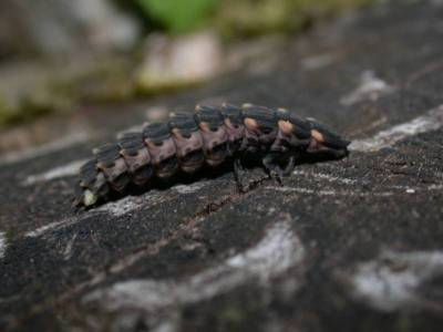 Lampyris noctiluca [Famille : Lampyridae]
