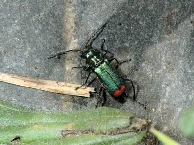 Malachius bipustulatus [Famille : Melyridae]