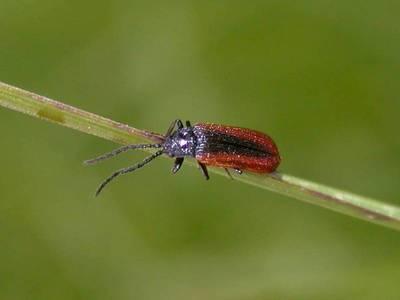 Omalisus fontisbellaquaei [Famille : Omalisidae]