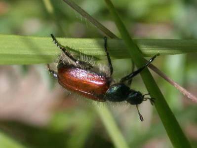 Phyllopertha horticola [Famille : Scarabaeidae]