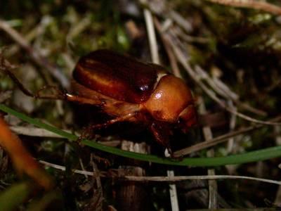 Rhizotrogus aestivus [Famille : Scarabaeidae]