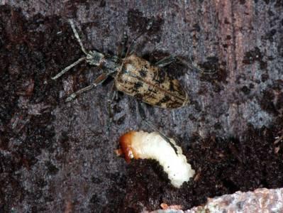 Rhagium inquisitor [Famille : Cerambycidae]