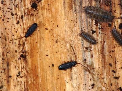 Uleiota planata [Famille : Silvanidae]
