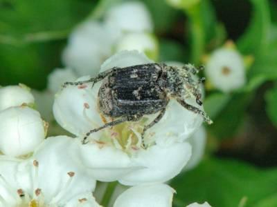 Valgus hemipterus [Famille : Cetoniidae]