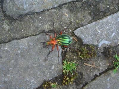 Carabus auronitens [Famille : Carabidae]