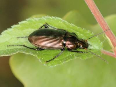 Poecilus cupreus [Famille : Carabidae]