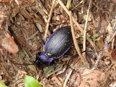 Carabus problematicus [Famille : Carabidae]