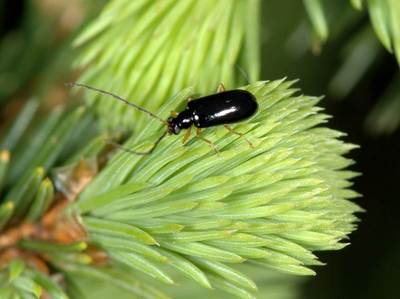 Luperus longicornis [Famille : Chrysomelidae]