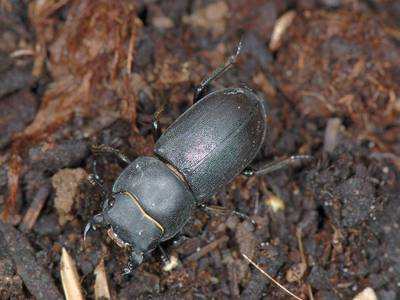 Dorcus parallelipipedus [Famille : Lucanidae]