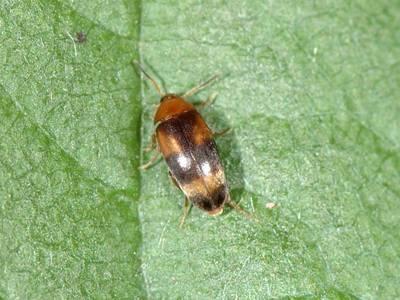 Cyrtanaspis phalerata [Famille : Scraptiidae]