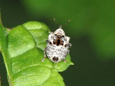 Cionus alauda [Famille : Curculionidae]