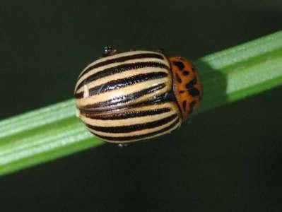 Leptinotarsa decemlineata [Famille : Chrysomelidae]