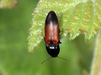 Ampedus balteatus [Famille : Elateridae]
