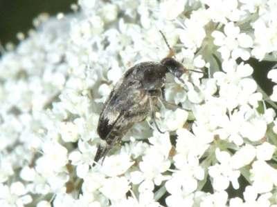 Variimorda villosa [Famille : Mordellidae]