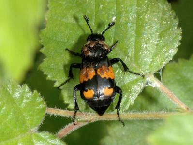 Nicrophorus vespilloides [Famille : Silphidae]