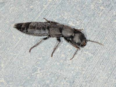 Staphylinus olens [Famille : Staphylinidae]