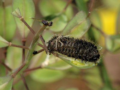 Galeruca tanaceti [Famille : Chrysomelidae]