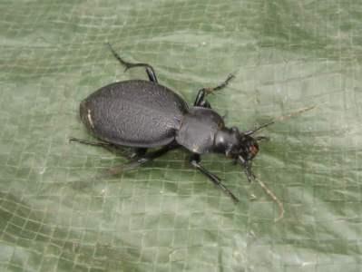 Carabus coriaceus [Famille : Carabidae]