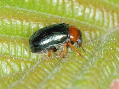 Smaragdina species [Famille : Chrysomelidae]