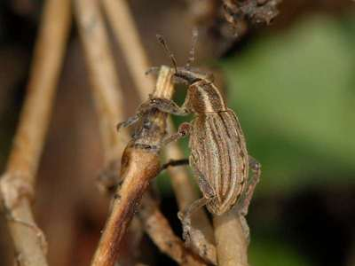 Hypera arator [Famille : Curculionidae]