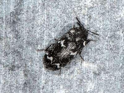 Megatoma undata [Famille : Dermestidae]